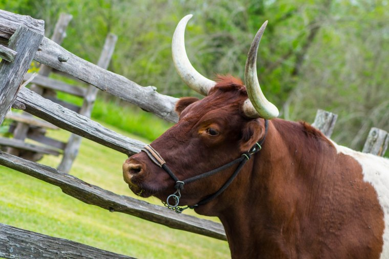 A Big Bull